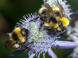 Pszczołowate 2017 1