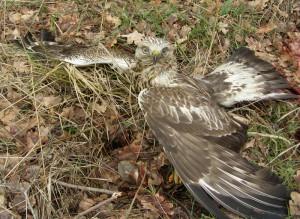 Uratowany myszołów włochaty