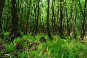 Las olszowy. Fotografia: Milena Kuleczka